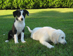 cucciolo di border collie e cucciola di golden retriever